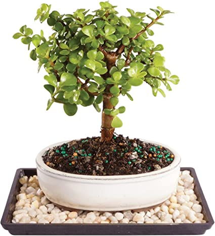 Brussels Live Dwarf Jade Indoor Bonsai Tree 5 Years Old; 6 to 8 Tall with Decorative Container