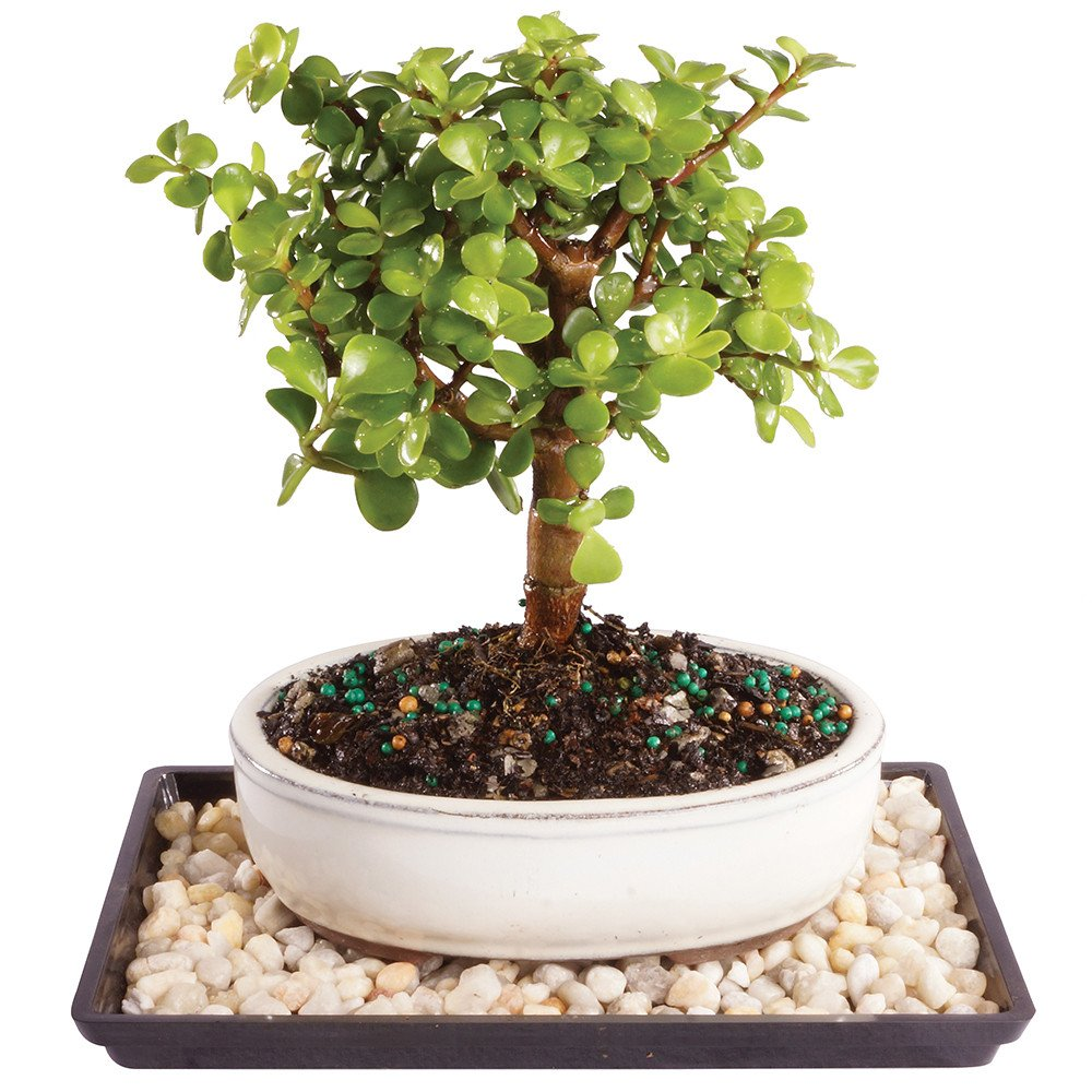 Brussel's Live Dwarf Jade Outdoor Bonsai Tree - 4 Years Old; 6'' to 10'' Tall with Decorative Container, Humidity Tray & Deco Rock