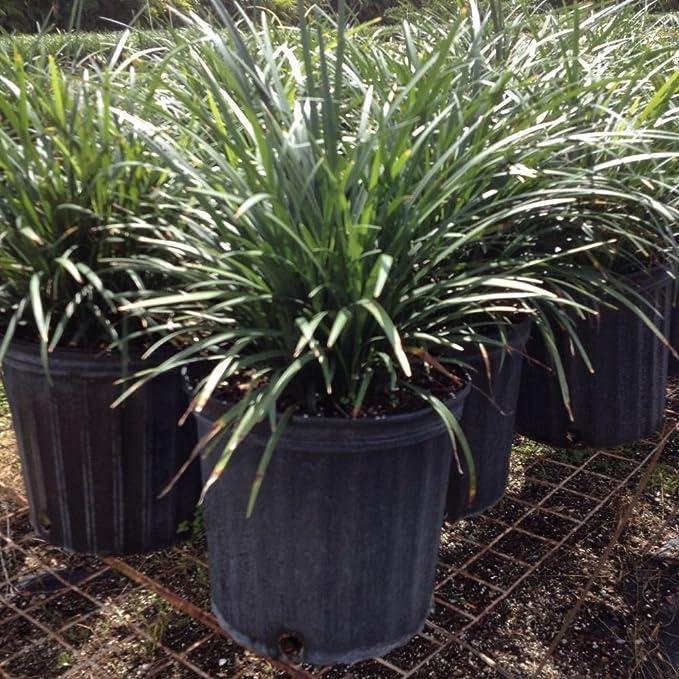 Amazoncom Plantvine Liriope Muscari Evergreen Giant Lilyturf