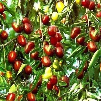 scgtpapadc Jujube Seeds, 100Pcs Sweet Jujube Seeds Red Date Fruit Plant Tree Garden Yard Farm Decor, Flower Seeds Plant Seeds Jujube Seeds : Garden & Outdoor