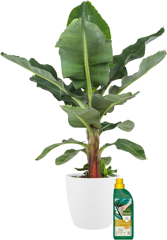 H/öhe: 80 cm Zimmerpflanze von Botanicly Musa 500 ml D/ünger als Set Bananenpflanze mit wei/ßem /Übertopf