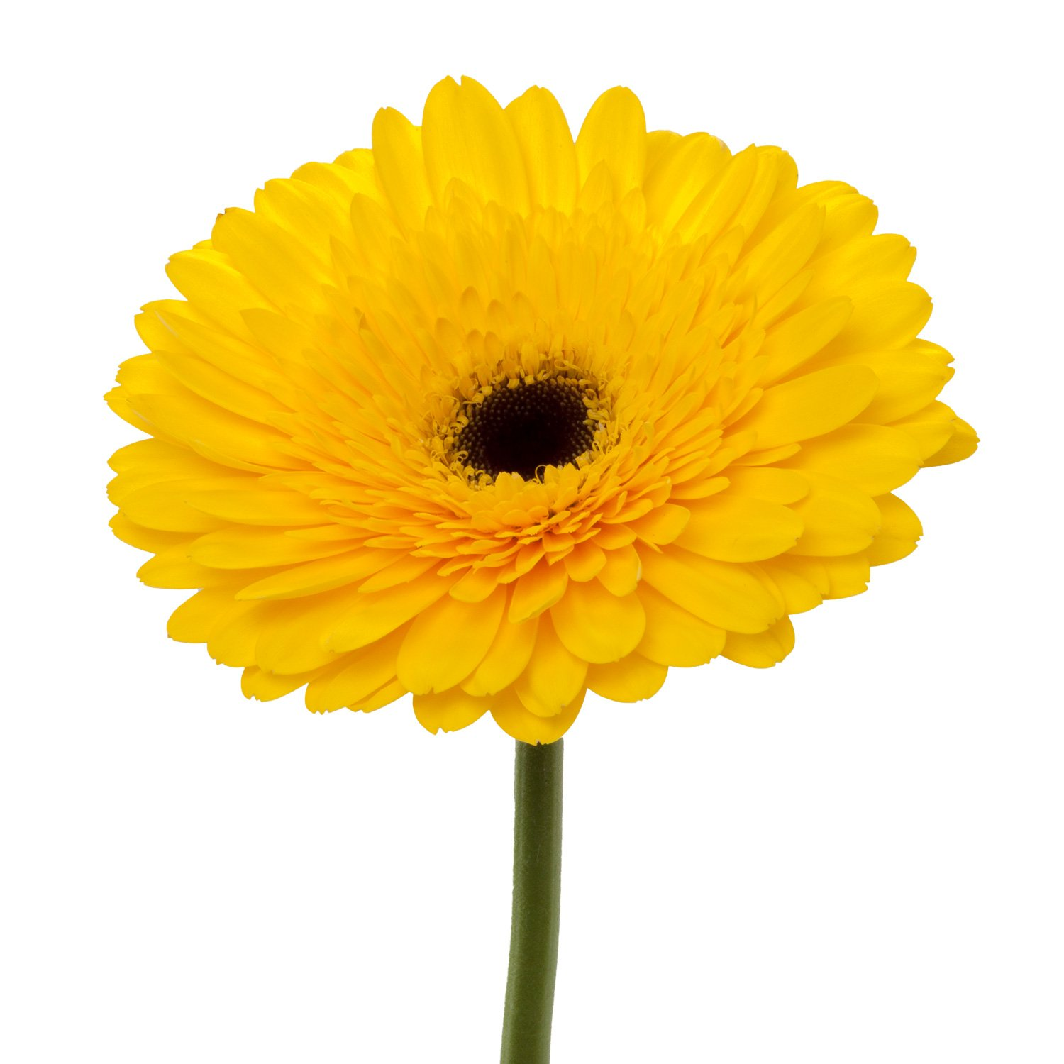 Gerbera Dark Center | Yellow - 40 Stem Count by Flower Farm Shop