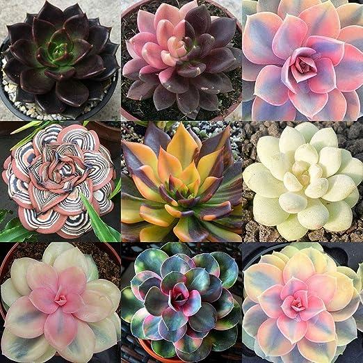 Semillas suculentas, 100 piezas mixtas de plantas suculentas raras para jardín, balcón, decoración de bonsái perenne, 100 unidades.: Amazon.es: Jardín
