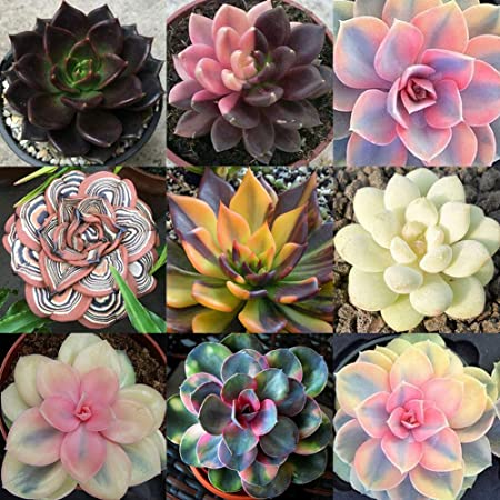 80 Rare Beauty Succulents Seeds Potted Flower Seeds Bonsai Seed Sell