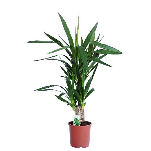 Dominik Blumen Und Pflanzen Yucca Palme Palm Lilie Yucca