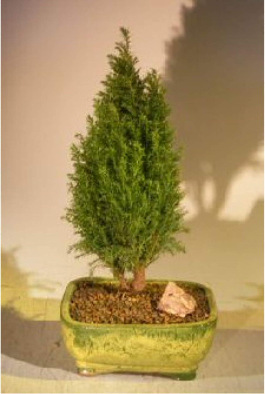 Amazon Com European Cypress Evergreen Bonsai Tree Chamaecypari Iawsoniana Ellwoodii Garden Outdoor