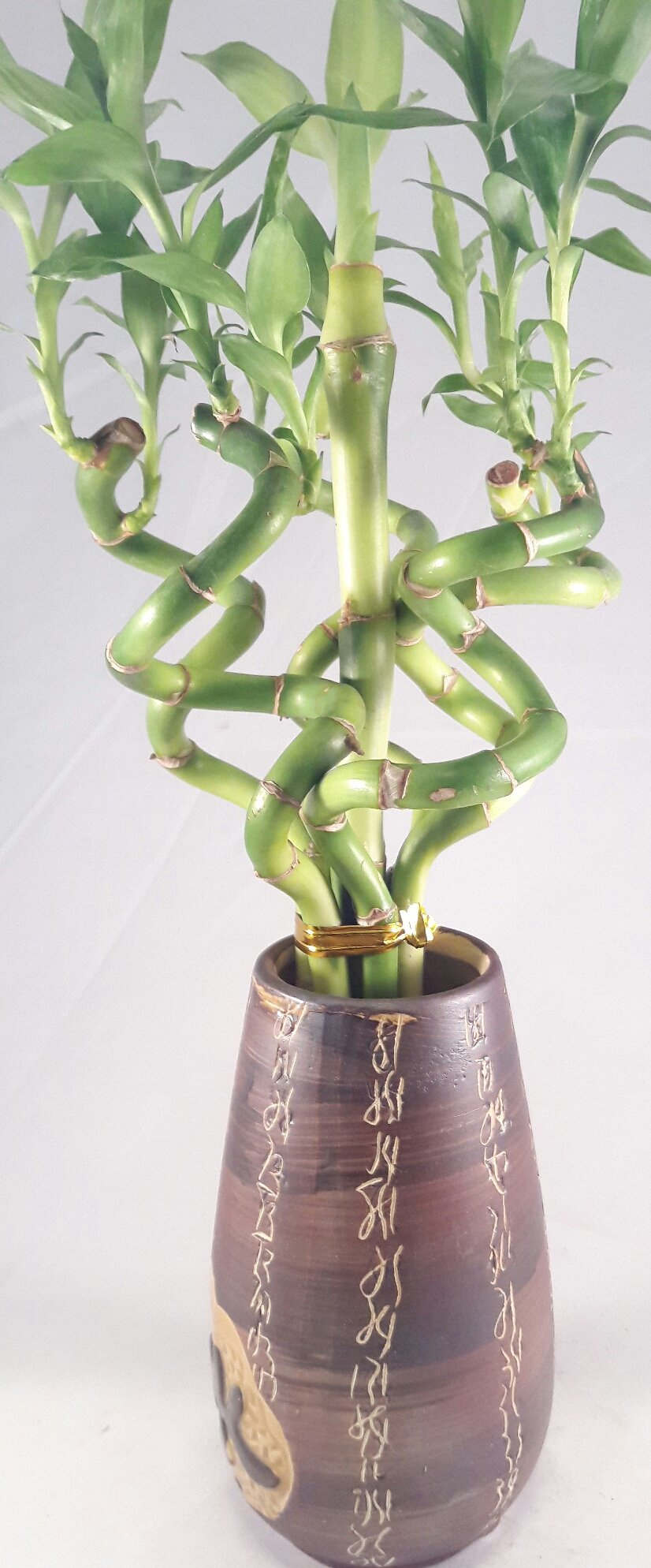 Jmbamboo - Live Spiral 6 Style Lucky Bamboo Plant Arrangement w/ Ceramic Vase unique from Jmbamboo