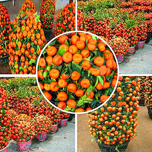 50 Pcs 2014 Real New Outdoor Plants Winter Potted Edible Fruit Seeds Bonsai China Climbing Tree Home&Garden B06Y13GCBL