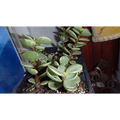 Mini Portulacaria Afra Variegated Leaf Jade Small Succulent Plant Garden tkmtski : Garden & Outdoor