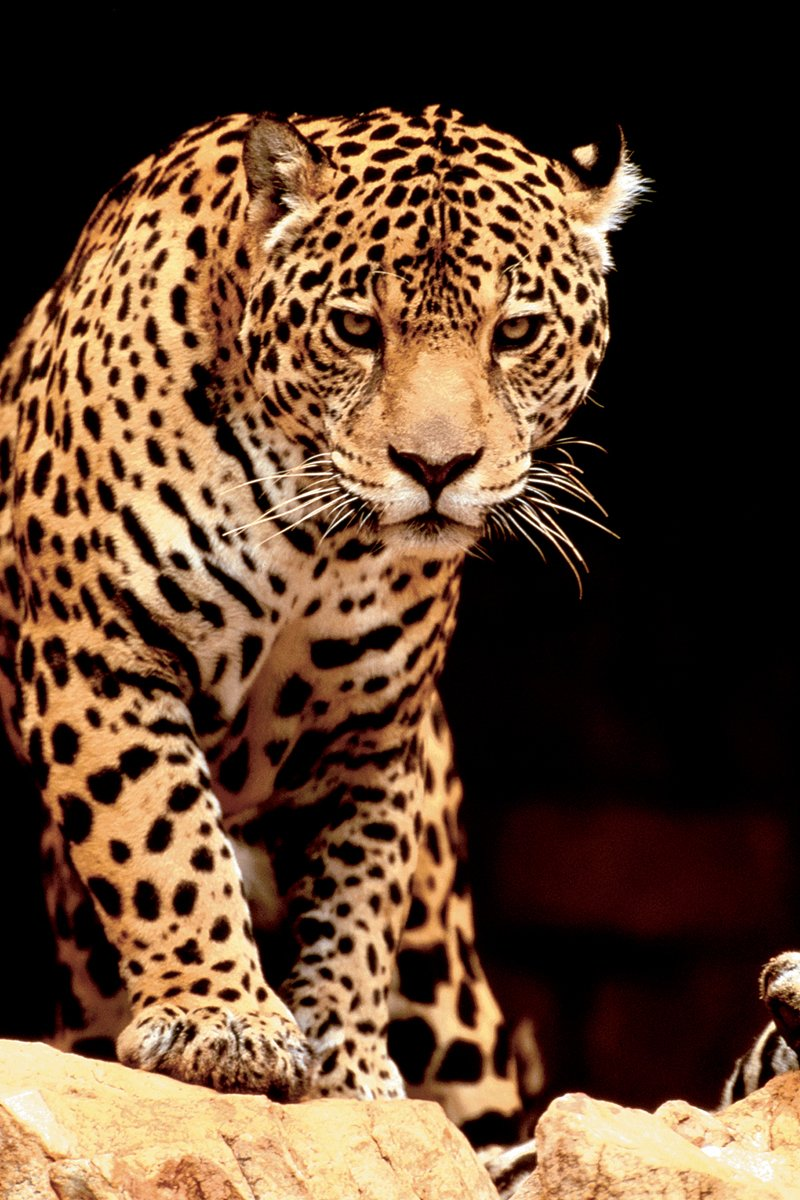 EuroGraphics Leopard Poster 36 x 24 inch 2400-1163