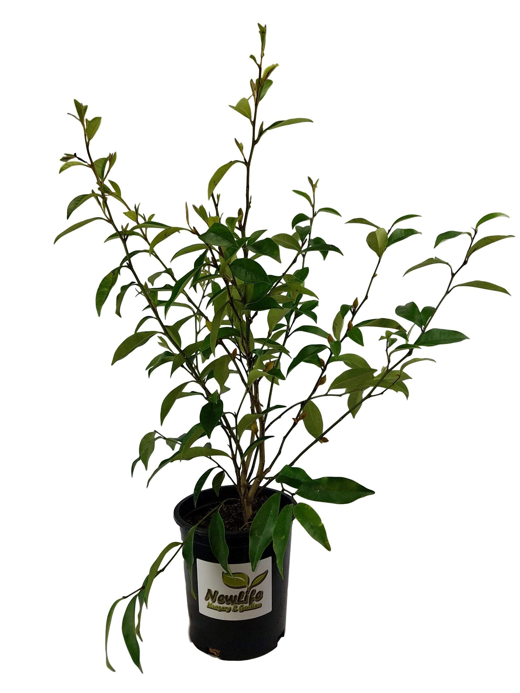 Banana Shrub ( Michelia figo ) - Live Plant - Trade Gallon Pot