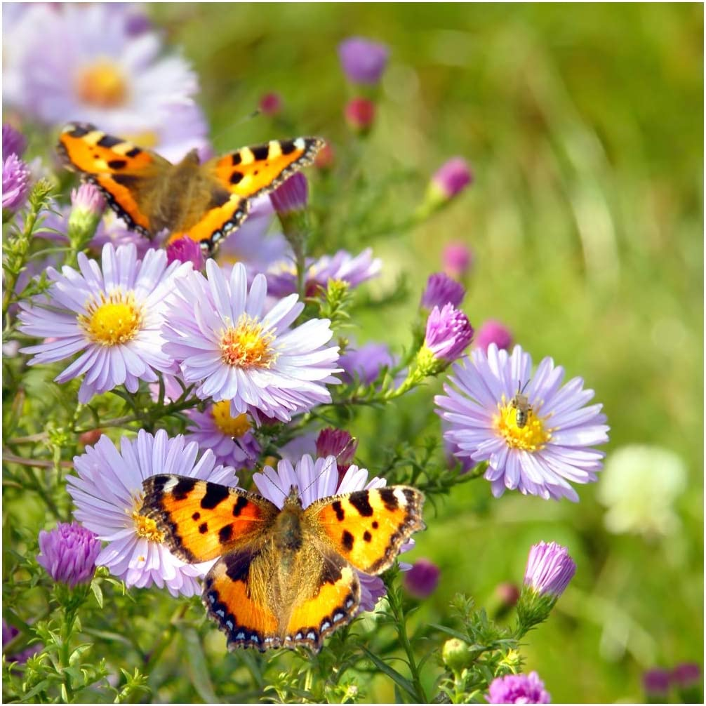Earthcare Seeds Butterfly Garden Flower Seeds 1,000 Seeds - Heirloom - Open Pollinated - Non GMO