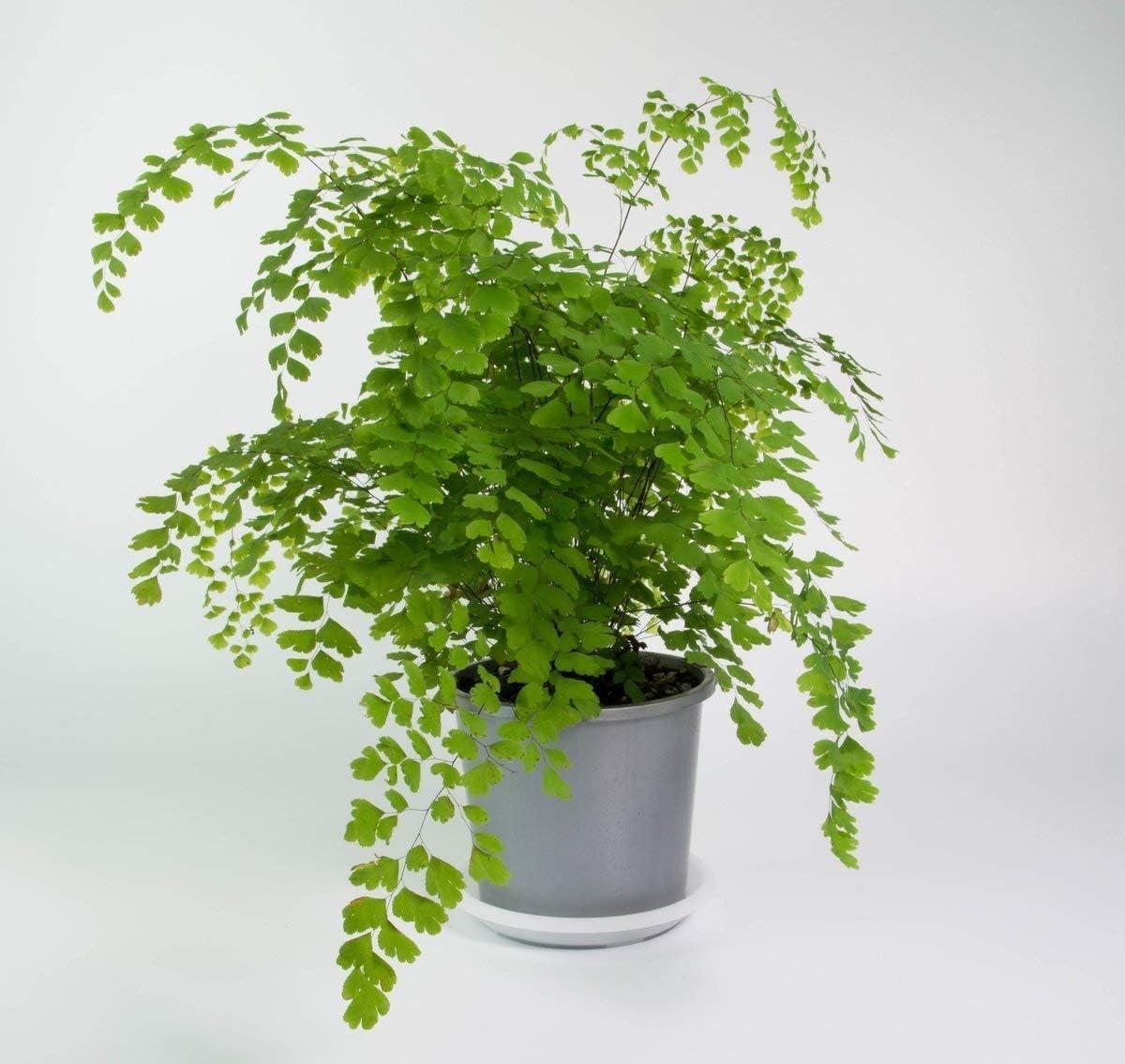 Amazon Com Maidenhair Fern Aka Adiantum Live Plant Indoor Live