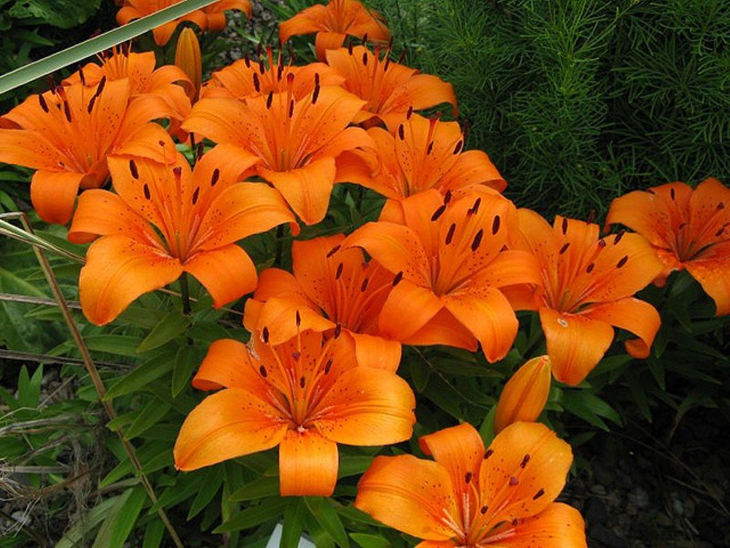 Garthwaite Nurseries 3 Orange Pixie Dwarf Lily Bulbs For Patio