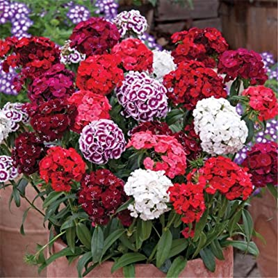 Sweet William Dianthus Dash Mixed Color 500 Seeds Compact Variety : Garden & Outdoor