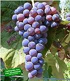 BALDUR-Garten Kernlose Tafel-Trauben 'Venus' Weinreben, 1 Pflanze, Vitis vinifera