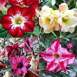 Daisy Garden 40 Pcs Seeds Mixed Adenium Obesum Desert Rose Seed Garden Flower Plant Bonsai Home Decor