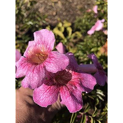 AchmadAnam - Live - Pink Trumpet Vine Podranea brycei Queen of Sheba Vine Pink Flowers : Garden & Outdoor
