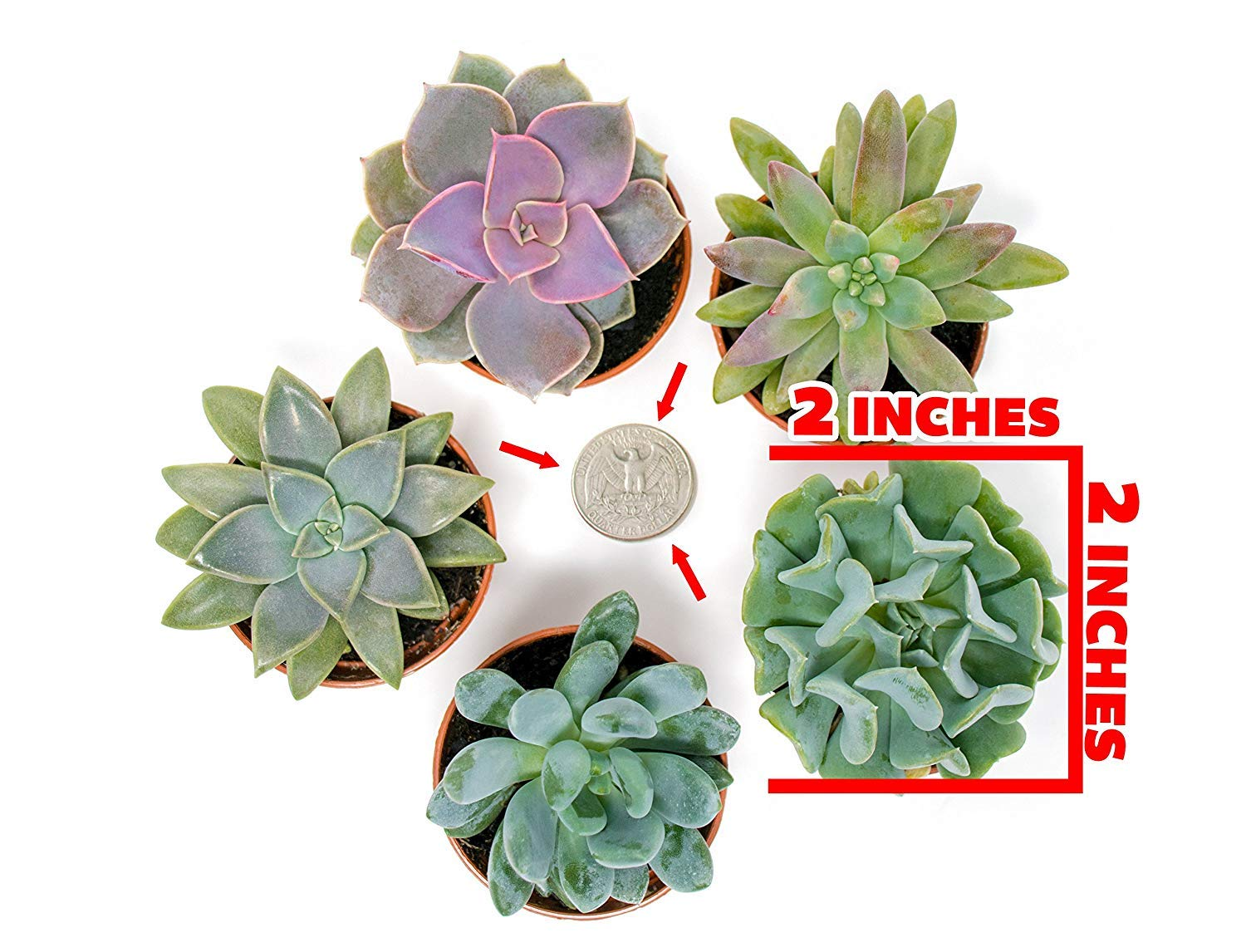 Succulent Plants (5 Pack), Fully Rooted in Planter Pots with Soil - Real Live Potted Succulents / Unique Indoor Cactus… 2 HAND SELECTED: Every pack of succulents we send is hand-picked. You will receive a unique collection of species that are FULLY ROOTED IN 2 INCH POTS, which will be similar to the product photos (see photo 2 for scale). Note that we rotate our nursery stock often, so the exact species we send changes every week. THE EASIEST HOUSE PLANTS: More appealing than artificial plastic or fake faux plants, and care is a cinch. If you think you can't keep houseplants alive, you're wrong; our succulents don't require fertilizer and can be planted in a decorative pot of your choice within seconds. DIY HOME DECOR: The possibilities are only limited by your imagination; display them in a plant holder, a wall mount, a geometric glass vase, or even in a live wreath. Because of their amazingly low care requirements, they can even make the perfect desk centerpiece for your office.