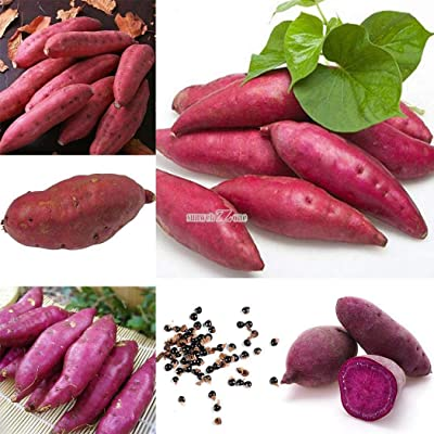 Portal Cool 50Pcs: 20Pcs/50Pcs Sweet Potato Seeds Garden Delicious Fresh Fruits Vegetables Rr6 : Garden & Outdoor