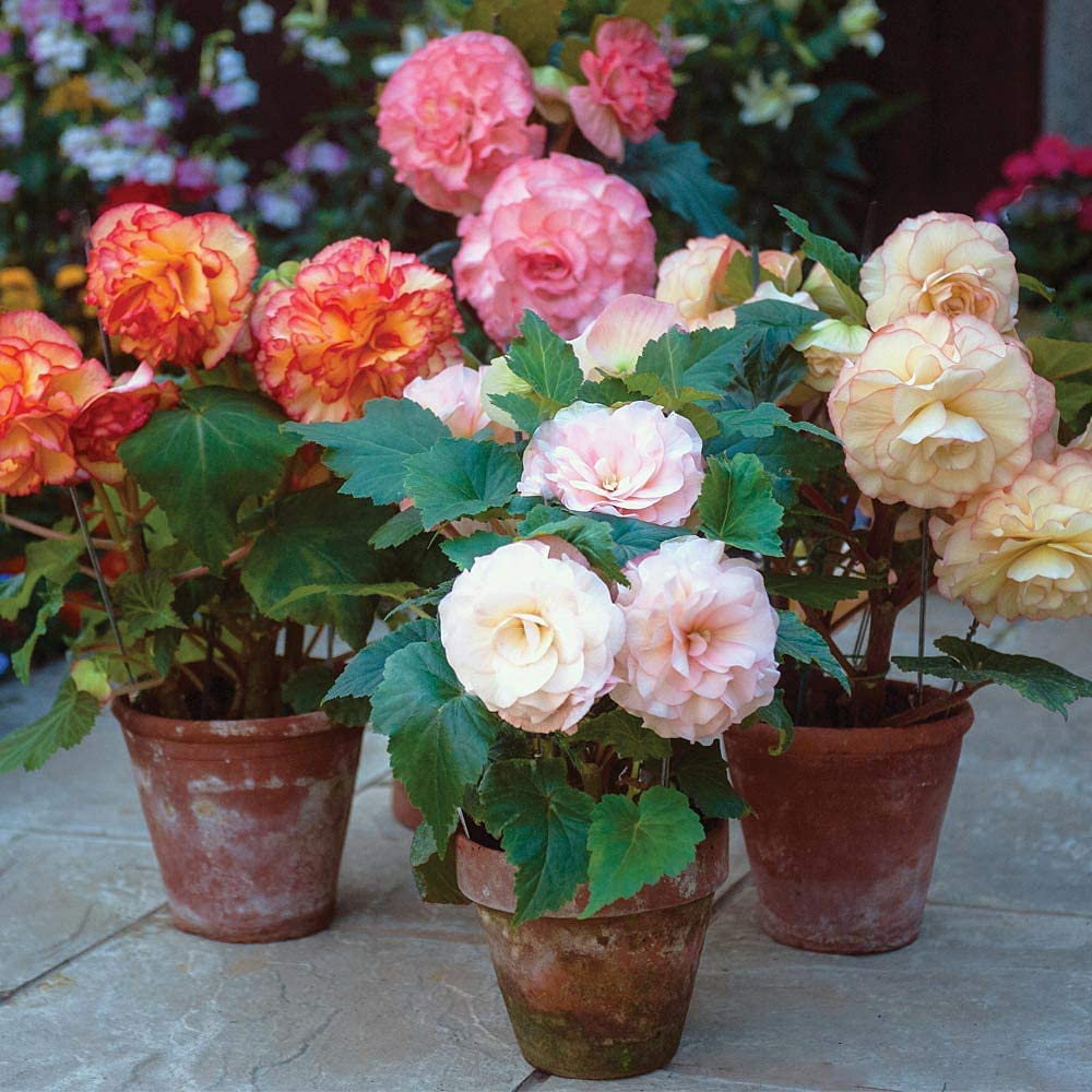 Thompson /& Morgan Begonia Tubers Collection Outdoor Half-Hardy Plant for Patio Borders /& Containers Begonia Giant Picotee Mixed x 10 Tubers Easy to Grow 10 x Begonia Tubers