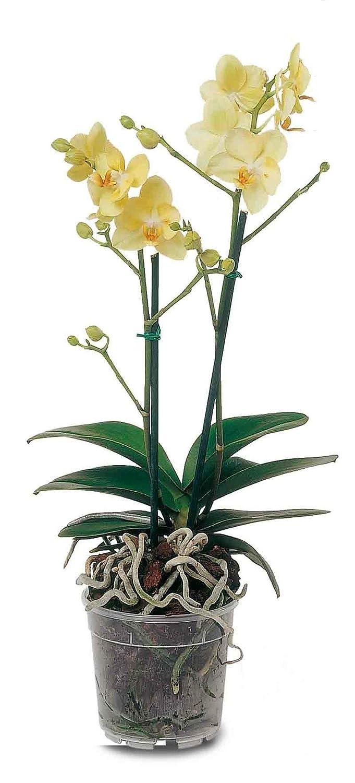 Vaso de plástico indicado para el cultivo de Orquídeas.