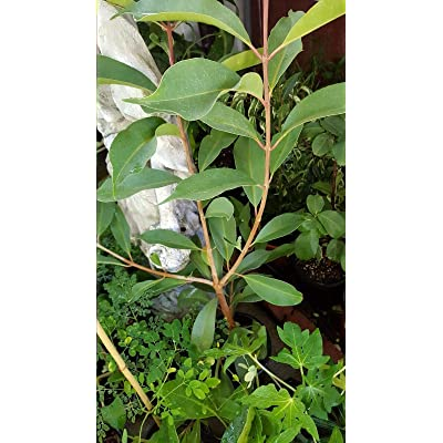 AchmadAnam - 1 Gal Pot Duhat Fruit - Trái Trâm - 1 to 2 Feet Tall - Ship in : Garden & Outdoor