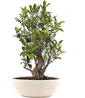 The Bonsai Plants Pachira Plant Braided: Amazon in: Garden & Outdoors