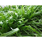 1000 Minutina Seeds, A cold-hardy Specialty Greens ,Plant fall/spring/