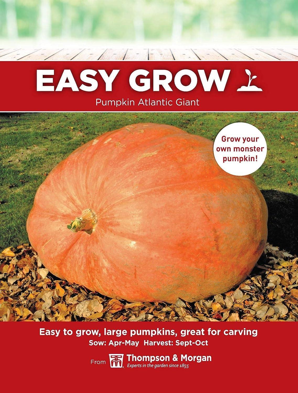 10 Seeds Vegetable Thompson /& Morgan Pumpkin Atlantic Giant
