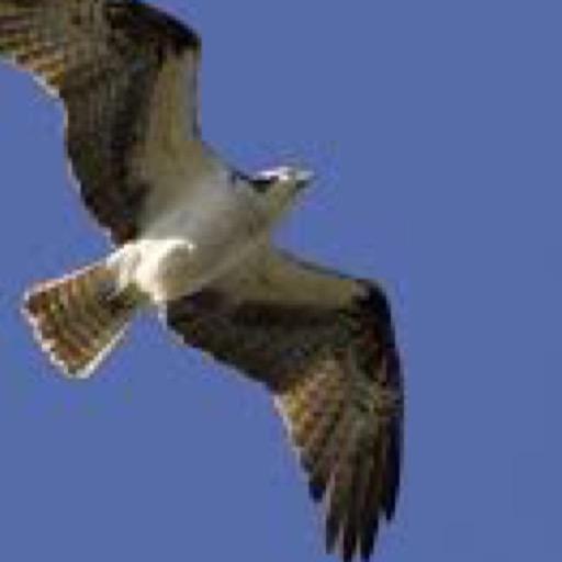 osprey-wallpaper-hd-wallpapers-of-ospreys