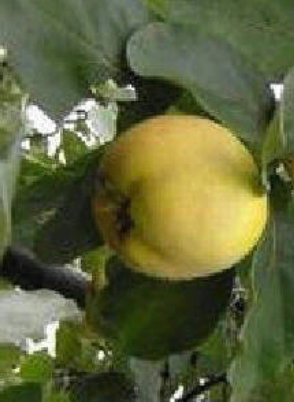 ANGERS Quince heirloom fruit tree seedling hardy edible Pear Family LIVE PLANT