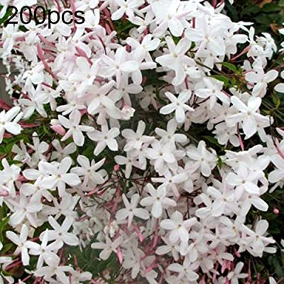 Mggsndi 200Pcs Jasmine Flower Seeds Jasminum Sambac Perennial Plant Garden Balcony Decor - Heirloom Non GMO - Seeds for Planting an Indoor and Outdoor Garden Jasminum Seeds : Garden & Outdoor