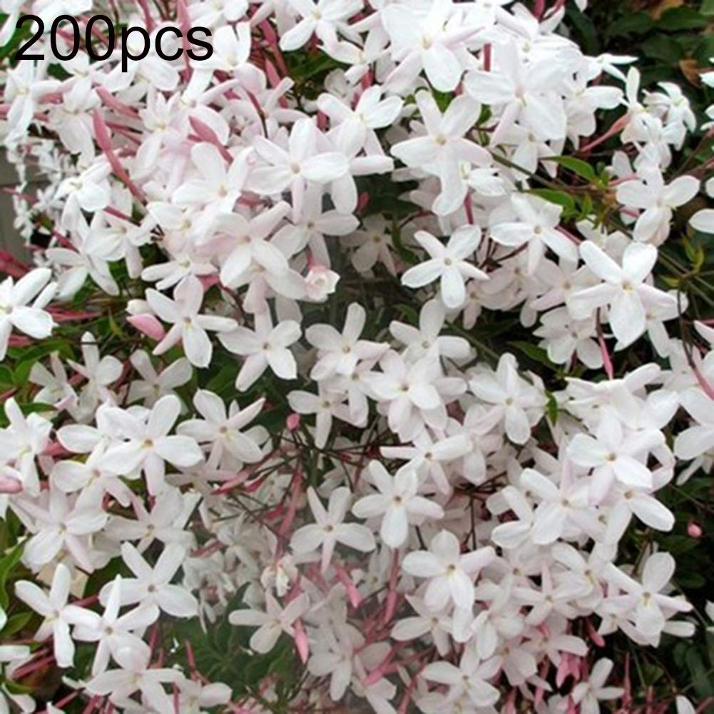 200pcs Seeds Arabian Jasmine Jusminum Sambac White Shrub Flower Seeds Decor