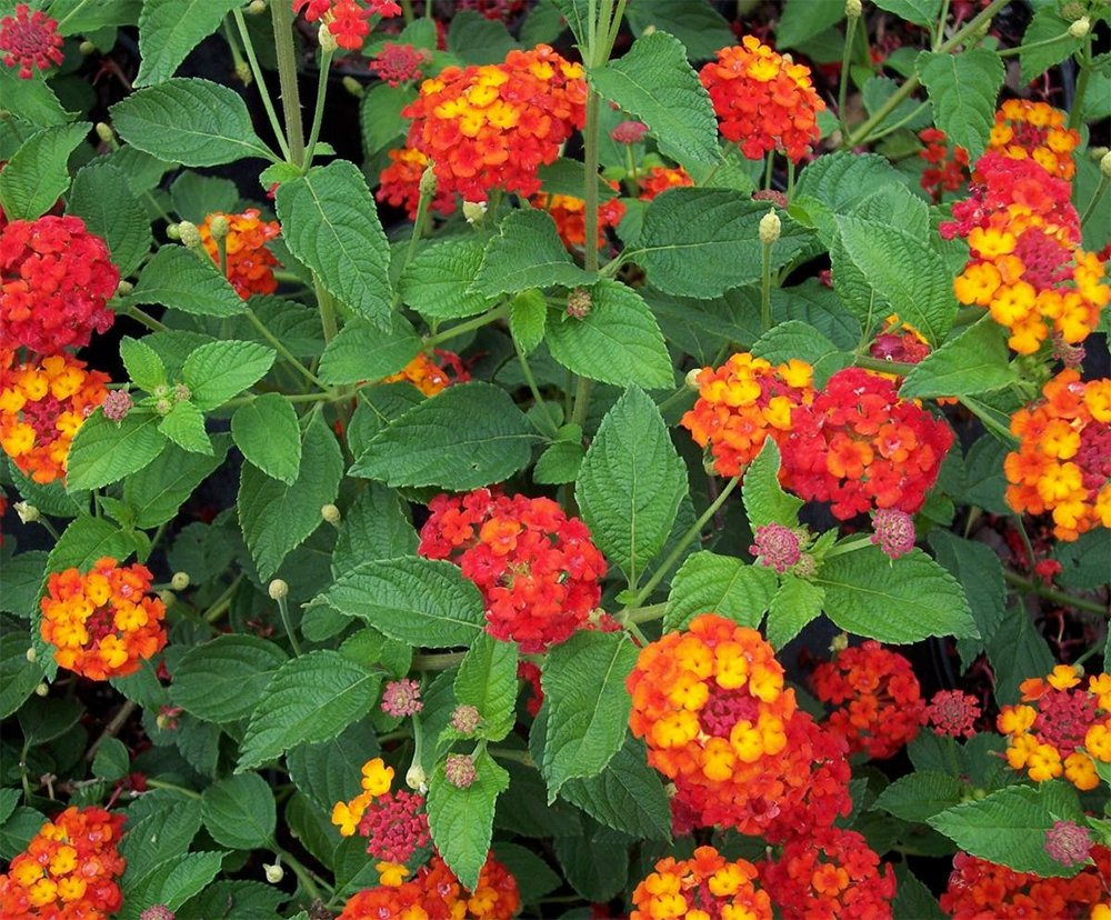 Picture of Live Red Lantana aka Lantana x 'Dallas Red' Plant Fit 1 Gallon Pot