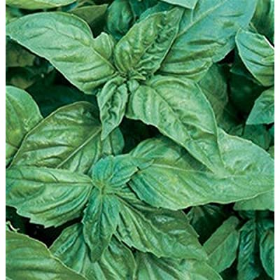 Basil- Italian Large Leaf - 200 Seeds : Garden & Outdoor