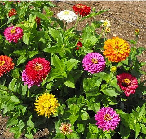 Amazon Com David S Garden Seeds Flower Zinnia Mixed Colors California Giants 9987 Multi 500 Non Gmo Heirloom Seeds Garden Outdoor