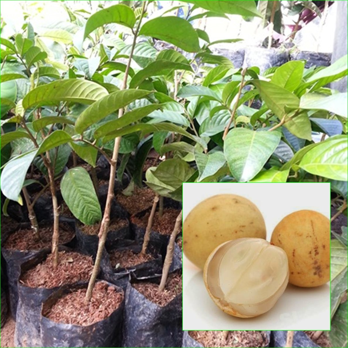 2 Thai Longkong grafted Tree Tropical Plant 18'' Tall Aglaia dookkoo Lansium Domesticum Direct from Thailand Free Phytosanitary Cert.