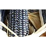 Premier Seeds Direct ORG158 Corn Blue Hopi Organic Seeds (Pack of 20)