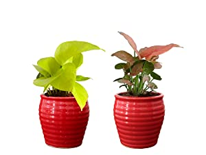 Rolling Nature Combo of Good Luck Air Purifying Live Golden Pothos and Pink Syngonium Plant in Red Ceramic Pot