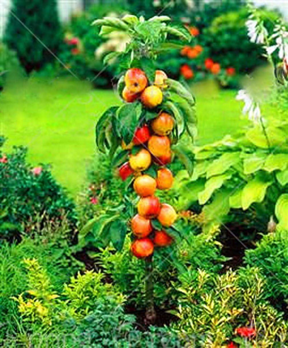 30pcs/Bag Dwarf Apple Seeds Miniature Apple Tree Sweet Organic Fruit Vegetable Seeds Indoor or Outdoor Plant for Home Garden