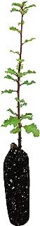 product image for California Scrub Oak | Medium Tree Seedling | The Jonsteen Company