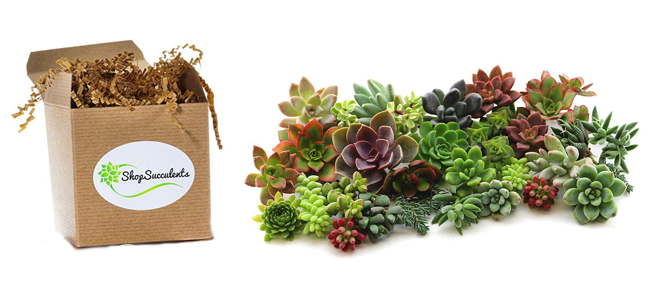 Shop Succulents   Assorted Collection of Live Succulent Cuttings, Hand Selected Variety Pack of Cut Succulents   Collection of 30 by Shop Succulents