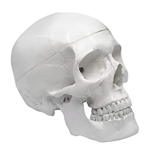 """Human Adult Skull Anatomical Model, Medical Quality, Life Sized (9"""" Height) - 3 Part - Removable Skull Cap - Shows Most Major Foramen, Fossa, and Canals - Includes Full Set of Teeth"""