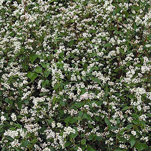 Green Manure - Buckwheat- 50g Seeds NutsnCones