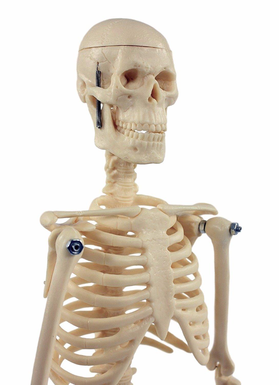 S24.1212 Skelett Modell klein, 45cm: Amazon.de: Gewerbe, Industrie ...