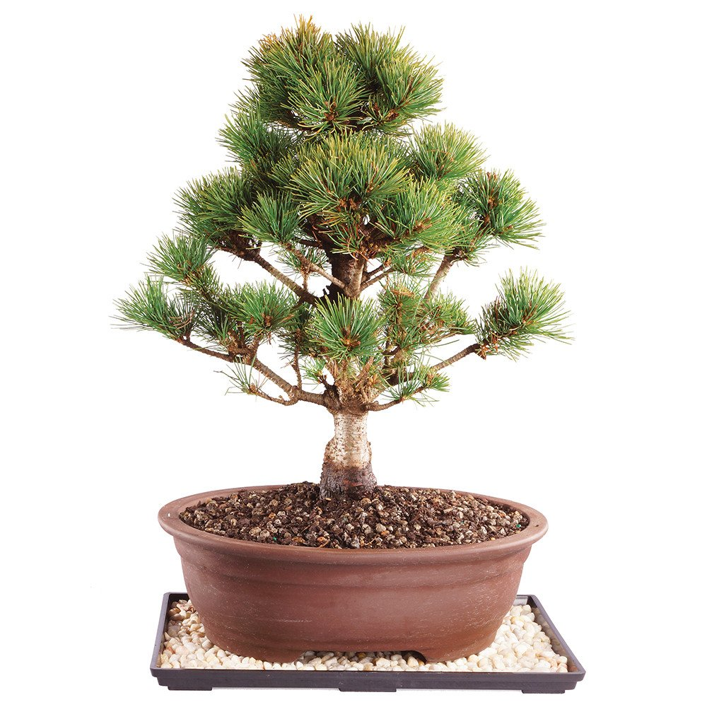 Brussel's Japanese Five Needle Pine Bonsai - Large (Outdoor) with Humidity Tray & Deco Rock by Brussel's Bonsai