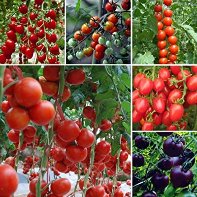 Bravet Fruit Seeds -100Pcs Multicolor Cherry Tomato Seeds Garden Heirloom Vegetable Small Tomato Vegetable Seeds : Garden & Outdoor