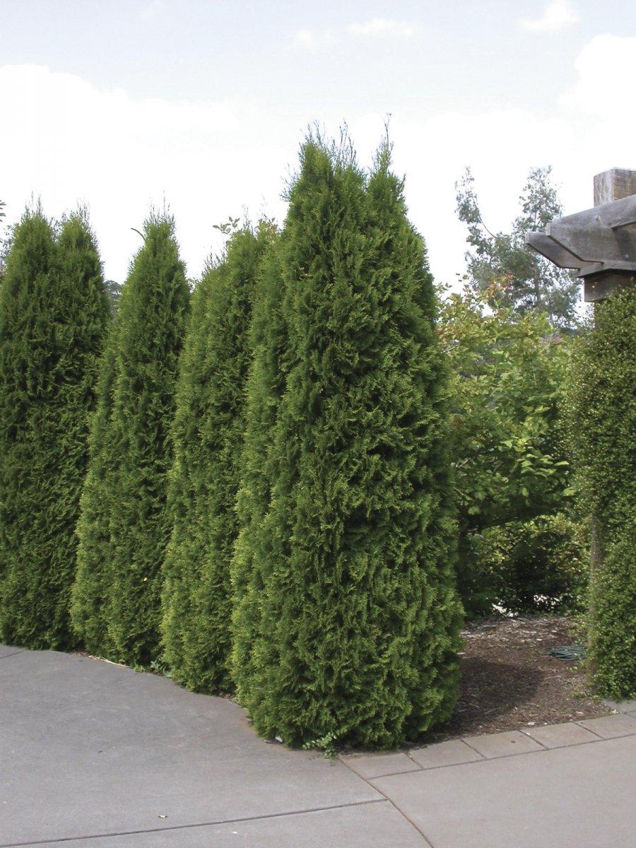 Sandys Nursery Online Thuja''Emerald Green'' occidentalis Arborvitae ~ Lot of 30~4 inch pot