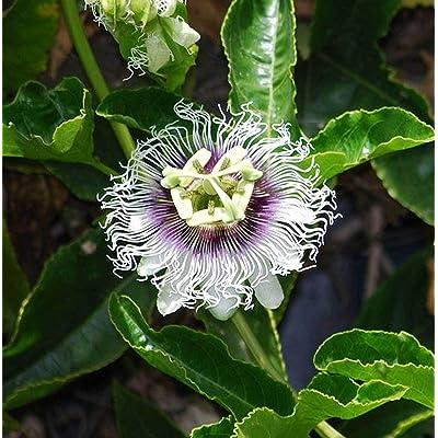 Shopvise Passiflora Edulis Purple Giant | Passion Vine | 20_Seeds : Garden & Outdoor